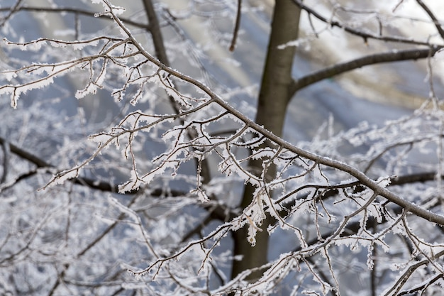 Mise au point sélective libre d'une tige givrée de l'arbre en hiver