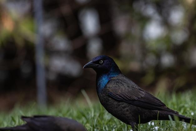 Mise au point sélective d'un magnifique corbeau sur un champ couvert d'herbe