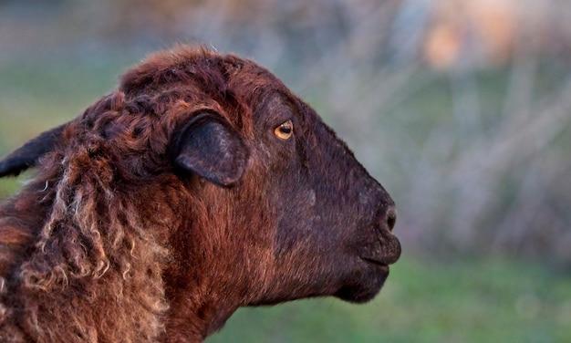 Mise au point sélective d'un mouton brun au milieu d'un champ couvert d'herbe