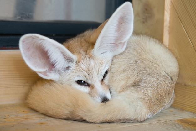 Mise au point sélective d'un œil de renard fennec avec un fond en bois