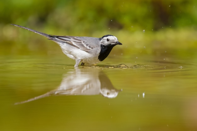 Mise au point sélective d'un oiseau bergeronnette sur l'eau pendant la journée