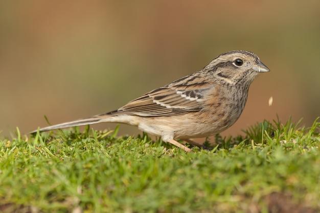 Mise au point sélective d'un oiseau bruant assis sur l'herbe avec un arrière-plan flou