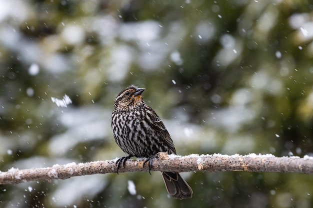 Mise au point sélective d'un oiseau exotique sur la fine branche d'un arbre sous la neige