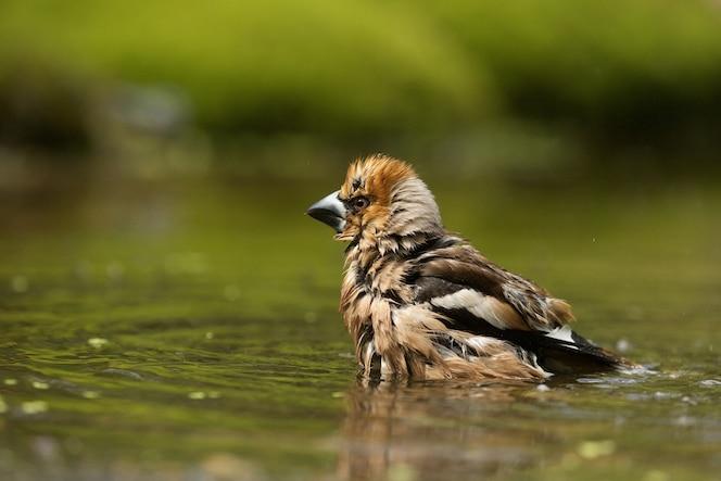 Mise au point sélective d'un oiseau mignon hawfinch