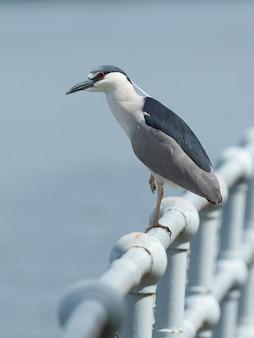 Mise au point sélective d'un oiseau night heron sur une main courante