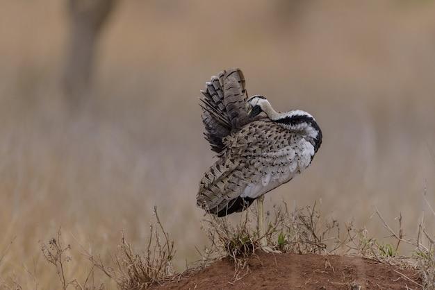 Mise au point sélective d'un oiseau de volaille marchant sur le terrain couvert d'herbe