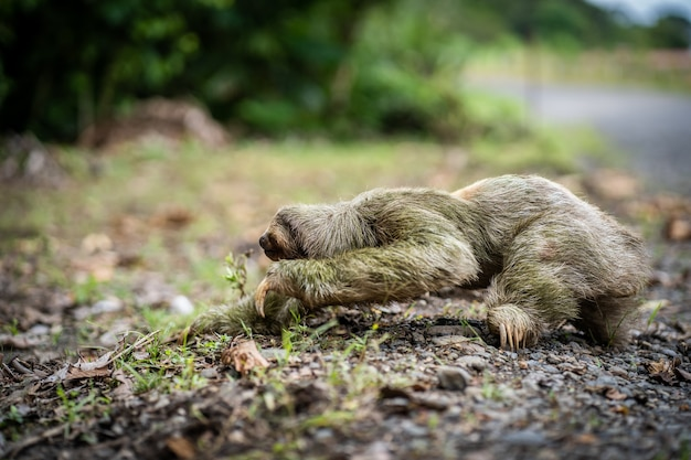 Mise au point sélective sur un paresseux arrivant au bord d'une autoroute tropicale. costa rica
