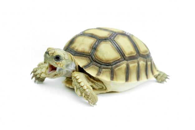 Mise au point sélective, petite tortue isolée sur blanc