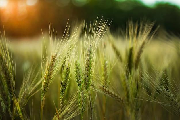 Mise au point sélective d'un peu de blé dans un champ