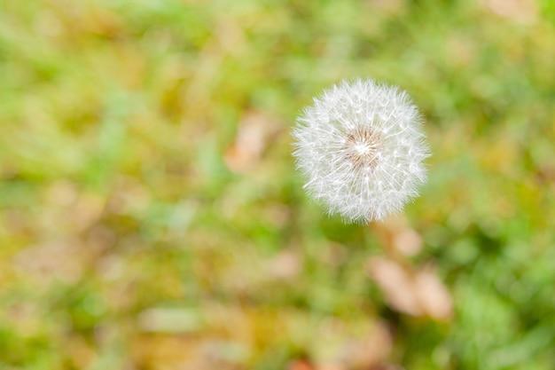 Mise au point sélective d'un pissenlit entouré de verdure dans un champ sous la lumière du soleil