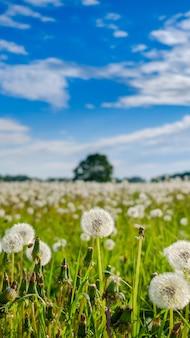 Mise au point sélective sur des pissenlits blancs moelleux sur un champ par une journée d'été ensoleillée