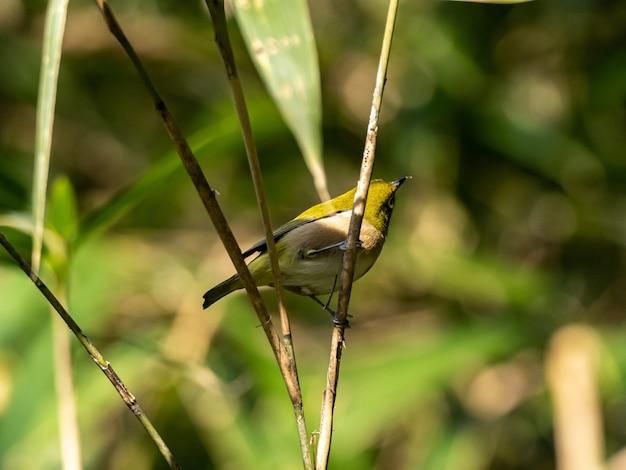 Mise au point sélective shot of a cute warbling white-eye reposant sur la brindille dans la forêt d'izumi à yamato