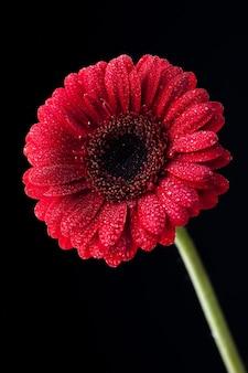 Mise au point sélective verticale d'un gerbera rouge aux pétales de rosée