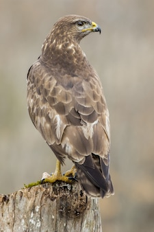 Mise au point sélective verticale tourné d'un magnifique faucon assis sur une épaisse branche d'un arbre
