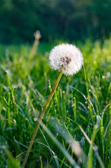 Mise au point sélective verticale tourné d'un pissenlit blanc sur le sol d'herbe verte