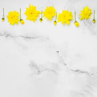 Mise à plat de belles marguerites de printemps avec fond de marbre