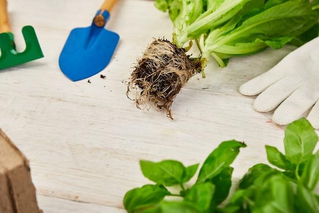 Mise à plat d'outils de jardinage, basilic, pot de fleurs écologique, sol sur fond en bois blanc.