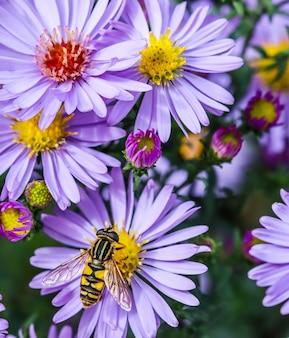 Mistaster saphir de belles fleurs bleues avec une abeille dans le jardin d'automne