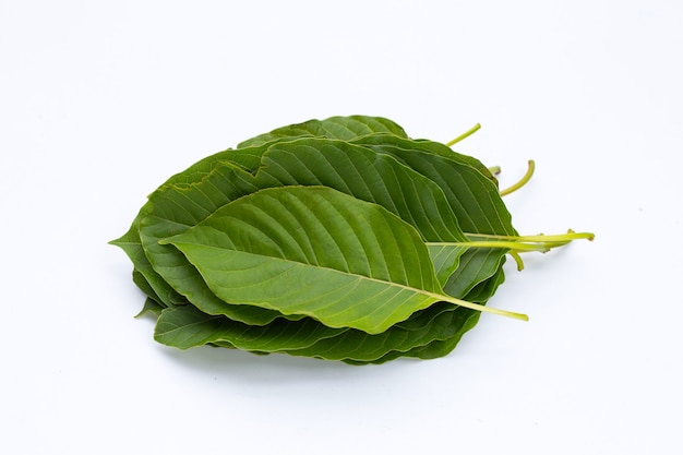 Mitragyna speciosa, feuilles de kratom frais sur fond blanc