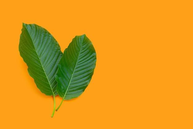 Mitragyna speciosa, feuilles de kratom frais sur fond orange