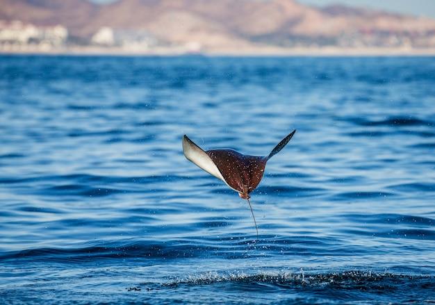 Mobula ray saute hors de l'eau. mexique