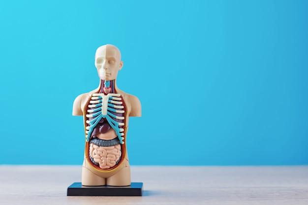 Modèle anatomique du corps humain avec des organes internes sur fond bleu. mannequin corps anatomie