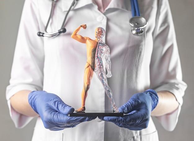 Modèle de corps humain jouet enfantin pour l'éducation dans les mains du médecin, les systèmes circulatoires et musculaires du corps et ...