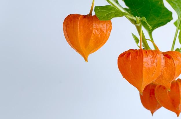 Modèle avec des fleurs de physalis rouges mûrs.