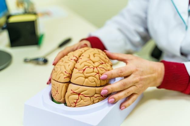 Modèle de fonctions cérébrales pour l'éducation. le docteur tient un modèle du cerveau humain dans les mains.