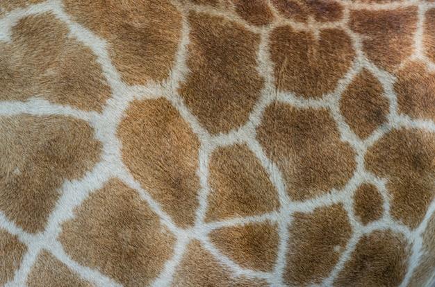 Modèle de fourrure de girafe