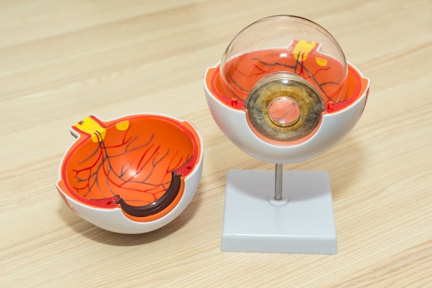 Modèle d'oeil anatomique agrandi, anatomie de l'oeil, physiologie de la coupe transversale de l'oeil humain, modèle de cornée en plastique sur table en bois dans une clinique moderne.