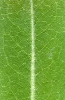 Modèle de texture de feuille, texture des feuilles vertes