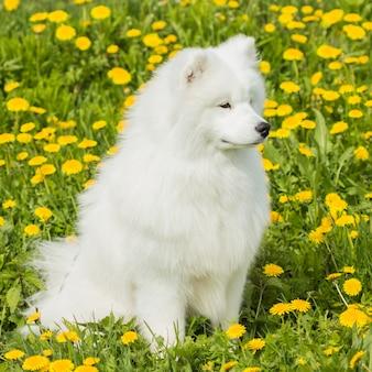 Moelleux triste chien samoyède