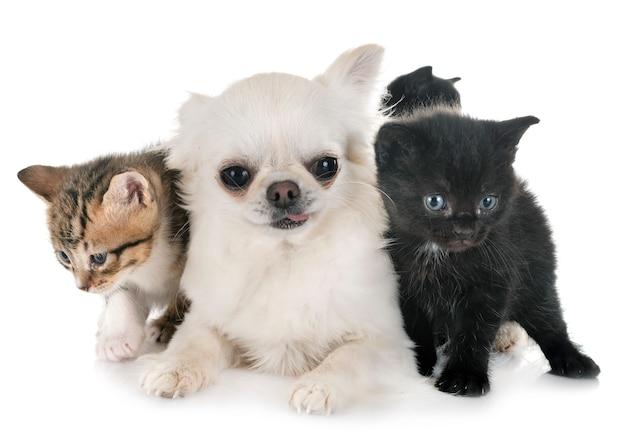 Moggy chaton et chihuahua