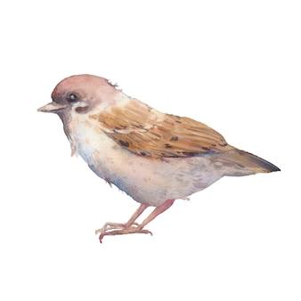 Moineau aquarelle. oiseau de printemps volant peint à la main isolé. illustration de la vie sauvage