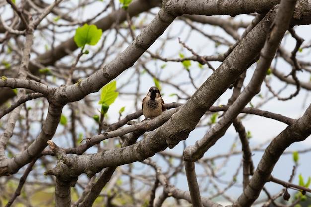 Un moineau sur une branche d'arbre au début du printemps. un petit oiseau gris dans la nature