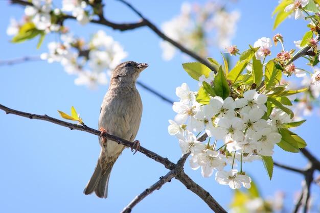 Moineau domestique avec insecte dans son bec sur cerisier en fleurs