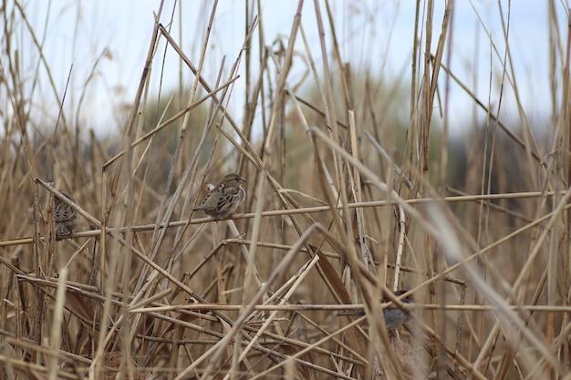Moineau Duveteux épais Sur Les Branches De Roseaux Secs Photo Premium