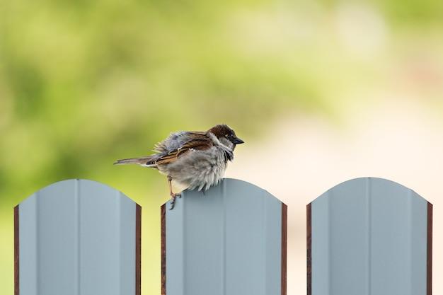 Le moineau ébouriffé est assis sur la clôture