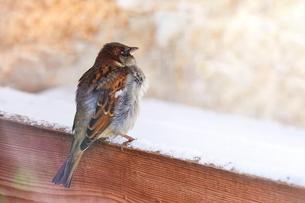 Moineau (passer domesticus) sur une planche de bois couverte de neige sur une journée d'hiver ensoleillée. le printemps arrive