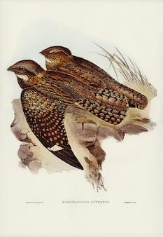 Moineau tacheté (eurostopodus guttatus) illustré par elizabeth gould