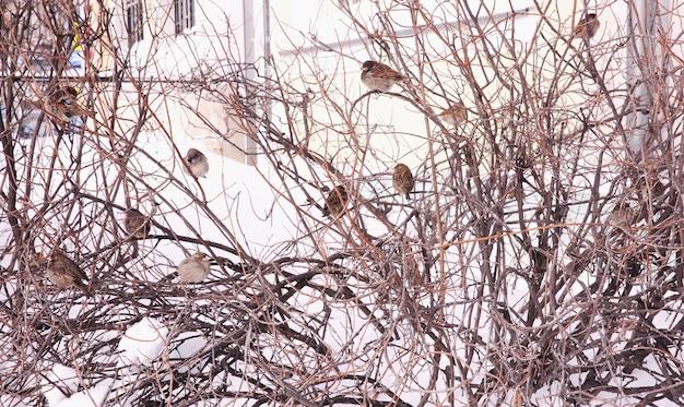 Moineaux assis sur le buisson