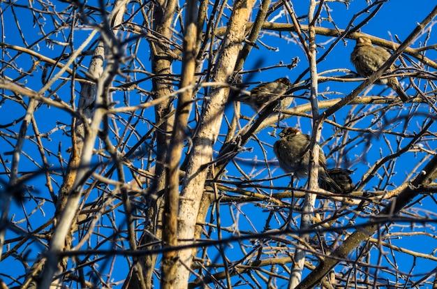 Les moineaux congelés sont assis sur des branches d'arbres nues