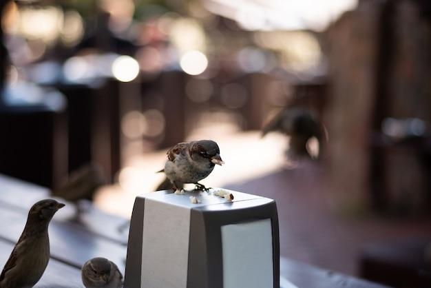 Moineaux urbains dans un café sur la table. photo de haute qualité