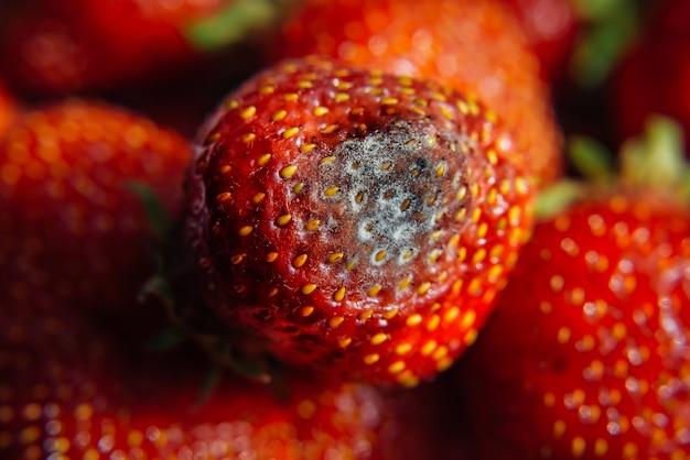 Moisissure grise sur les fraises fraîches mûres rouges de la ferme, gros plan, mise au point sélective, arrière-plan flou. processus de contrôle qualité avant l'envoi au détail. produits périssables dangereux pour la santé.