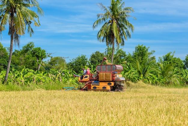 Moissonneuse-batteuse dans une rizière en action