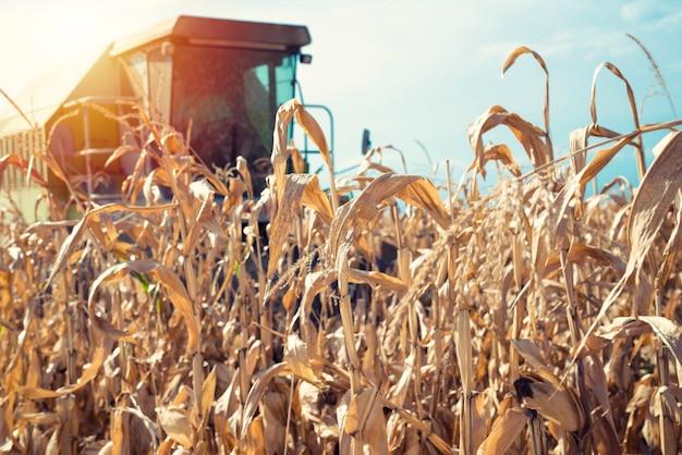 Moissonneuse-batteuse travaillant dans le champ de maïs