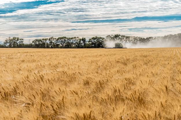 Moissonneuse-batteuse unique la récolte de blé dans un champ au coucher du soleil à wymark, saskatchewan