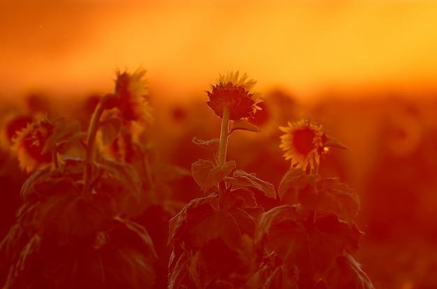 La moissonneuse récolte les tournesols dans les rayons du soleil couchant. les tons rouges de la photo ajoutent du drame et du mysticisme