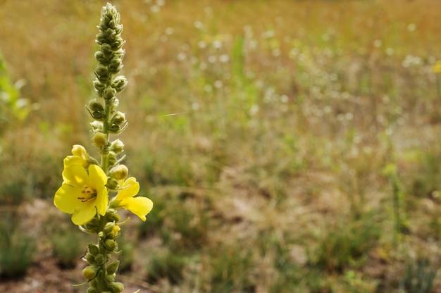 Molène commune (verbascum thapsus)